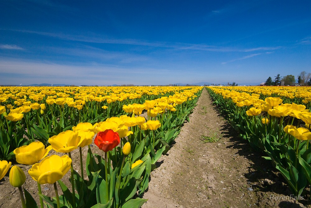 Tulip Rows by RavenFalls