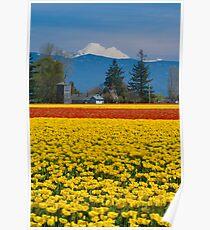 Skagit Valley Tulip Fields Poster