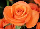 Peach Rose by Emma Holmes