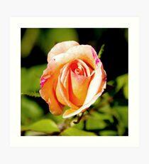 Peach Rosebud Art Print