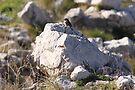 Mycenaean Bird by Emma Holmes