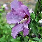 Rose of Sharon After the Rain by Corkle
