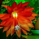 Christmas?  No, Orchid Cactus! by Bryan D. Spellman