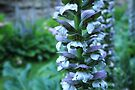Acanthus by Emma Holmes