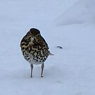 Song Thrush or Mistle Thrush I can't decide by Sharon Perrett