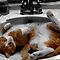 Domestic Cats - Having a Drink From the Tap or Sleeping in the Sink