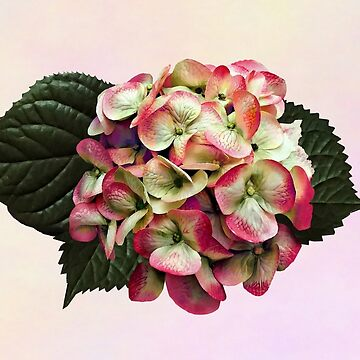 One Pink and White Hydrangea by SudaP0408