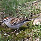 Chirping Sparrow by Dennis Cheeseman
