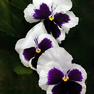 Pansy Trio by Osso