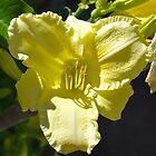 Lemon Day Lily by Penny Smith