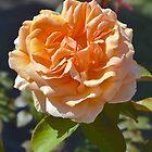 Folds of Apricot by Penny Smith