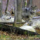 Timber Wolves Resting by vette