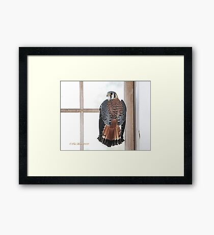 Kestrel - Falcon Framed Print