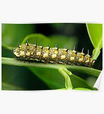 Dingy Swallowtail Caterpillar Poster