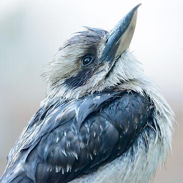 Kookaburra 15 by fotoWerner