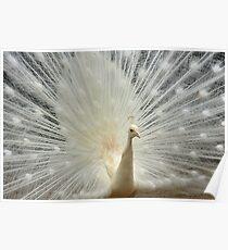 Albino Peacock (Sydney) Poster
