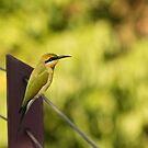 Rainbow Bee-eater by SusanAdey