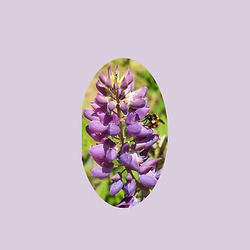 Honey Bee on Lupine Flower by ccnnddrr55