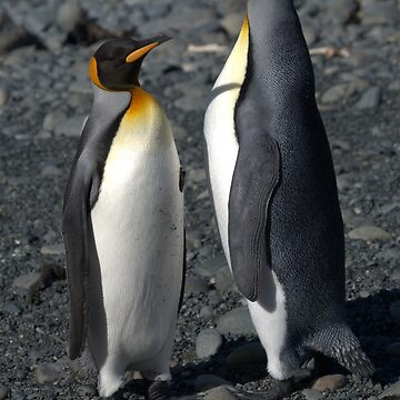 King Penguins, Macquarie Island, Australia by gigges