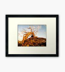 Outback tree Framed Print