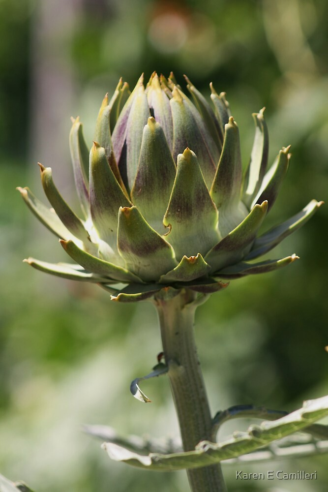 artichoke  by Karen E Camilleri