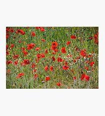 Poppies in the Fields...........Brimpton, Berks UK Photographic Print