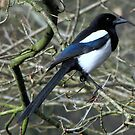 Magpie 01 by Sharon Perrett