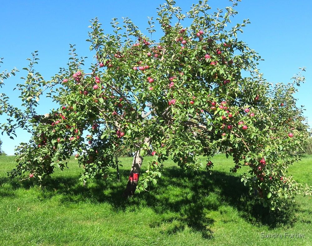 The Old Apple Tree by Sandra Fortier