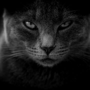 Staring Angry Intimidating Cat Eyes  by BrchtV