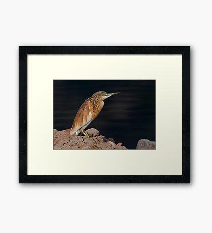 Squacco Poised Framed Print