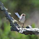 Rainbow Farm  - Female Blue Wren - Busselton Western Australia by Coralie Plozza