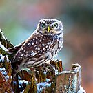 Little Owl by Dave Hare