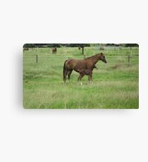 A Mare and her Foal in Rural Kempsey, N.S.W. Australia. Canvas Print