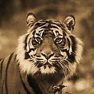 Amur Tiger by Franco De Luca Calce