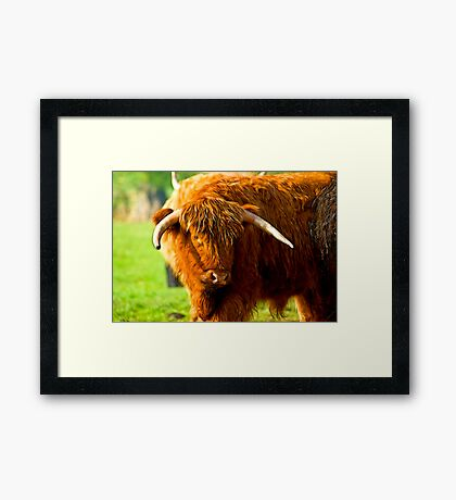 Highland Cattle #3 Framed Print