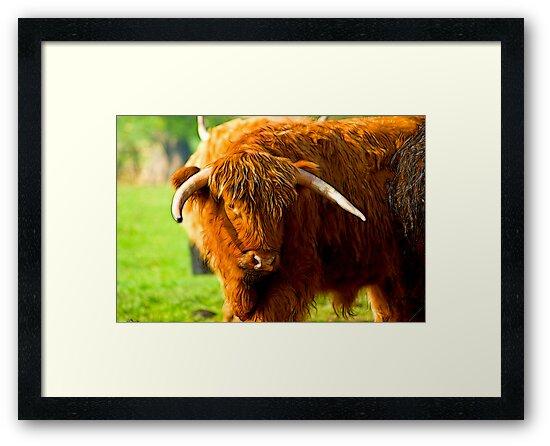 Highland Cattle #3 by Trevor Kersley