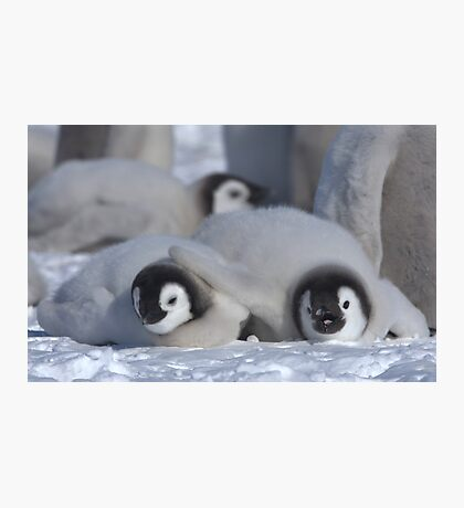 Emperor Penguin Chicks - Snow Hill Island Photographic Print
