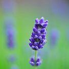 Lavender in green by julie08