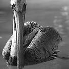 Grey Pelican B&W by D R Moore