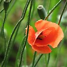 Poppy by Louise Linossi Telfer