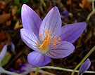 Autumn Crocus by Themis