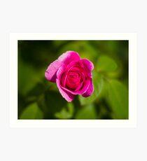 A Single Magenta Rose Amidst the Green Art Print