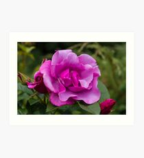 Purple Roses in a Garden Art Print