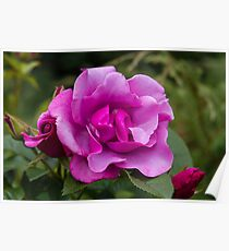 Purple Roses in a Garden Poster