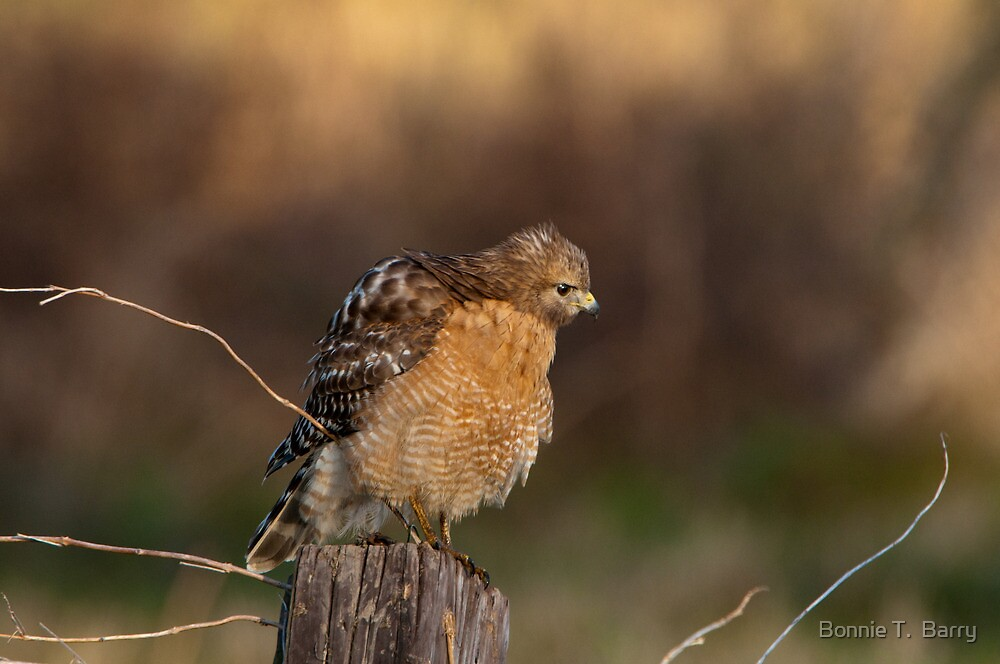 Puffed Up Hawk by Bonnie T.  Barry