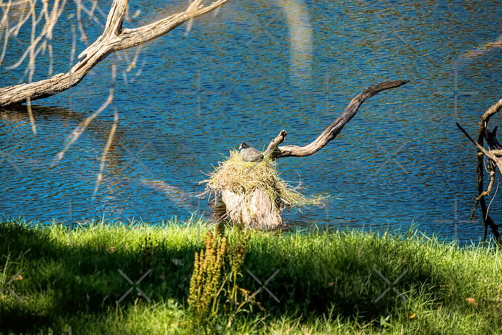 Coot's Nest by Elaine Teague