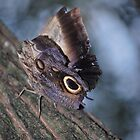 Owl Butterfly by deb cole
