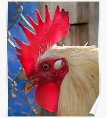 San Quintin Rooster Poster