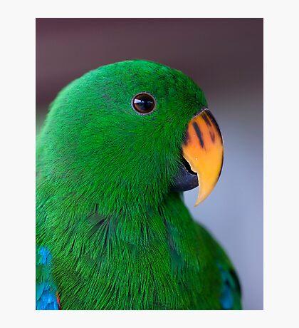 Zulu - eclectus parrot Photographic Print
