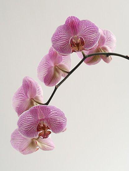 orchid by OldaSimek